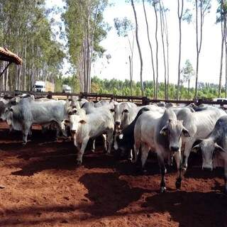 Bois confinados na Fazenda Boa Aguada com eucaliptos (Foto: Divulgação)