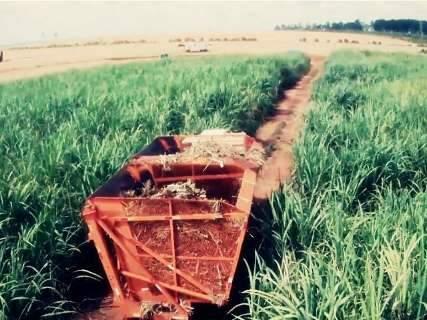 MS é responsável por quase 15% da produção nacional de milho safrinha