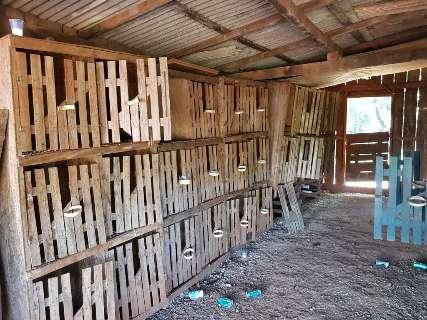 PMA apreende galos de briga e dono de rinha é autuado por crime ambiental