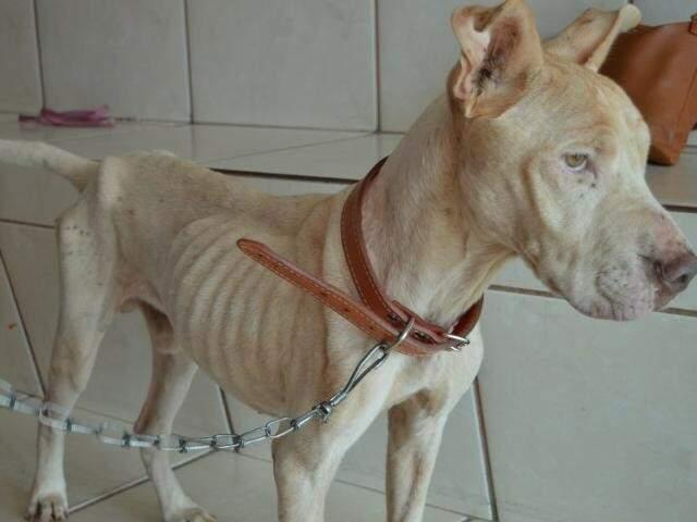 Quando foi resgatado, Bolt estava desnutrido e exames constataram leishmaniose e doença do carrapato (Foto: Silas Lima)