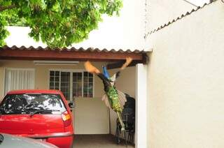 Pavão ficou a manhã inteira no estacionamento da empresa, como se estivesse em casa.