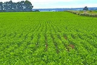 Projeção é que sejam plantados 2.520 milhões hectares de soja em MS. (Foto: Famasul)