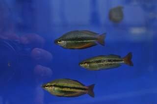 Outra espécie de peixe que será levada para o aquário (Foto: Alcides Neto/Arquivo)