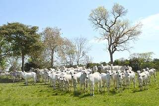 Granja para bovinos é novidade em Mato Grosso do Sul. (Foto: Famasul/Divulgação)