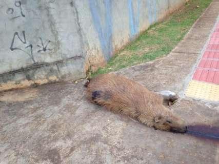 Capivara é atropelada perto de redutor de velocidade e morre na Via Parque