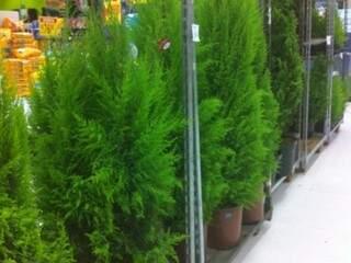 Árvores naturais no Carrefour, a partir de R$ 10,90.