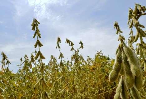 Na véspera da colheita, agricultores comemoram bom clima para a soja