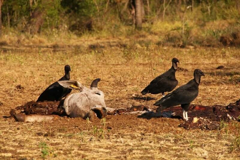 Animal, aparentemente, abatido pelos índios que ocupavam a fazenda Piquiri, desocupada desde o dia 31 de agosto (Foto: Marcos Ermínio)