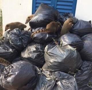 Quatis flagrados nos sacos de lixos do TJMS. (Direto das ruas)