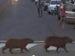 Trecho do vídeo que mostra as capivaras atravessando na faixa. (Foto: reprodução/Facebook)