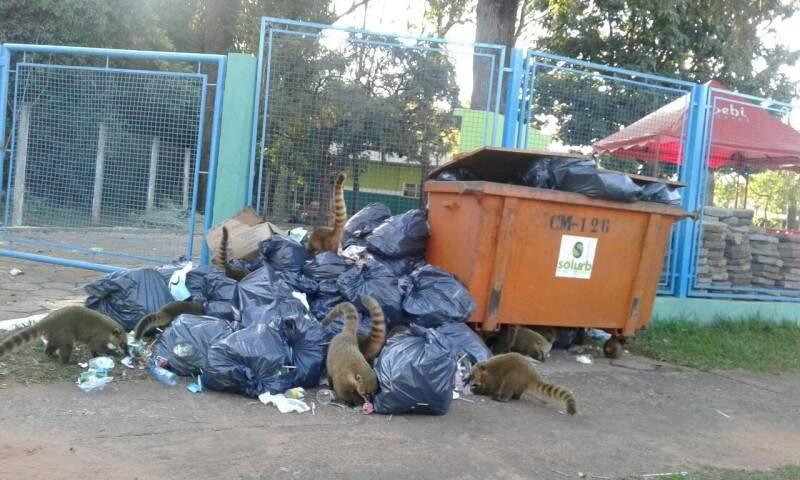 Quatis se alimentando de lixo na região do Parque dos Poderes. ( Foto: Direto das ruas)
