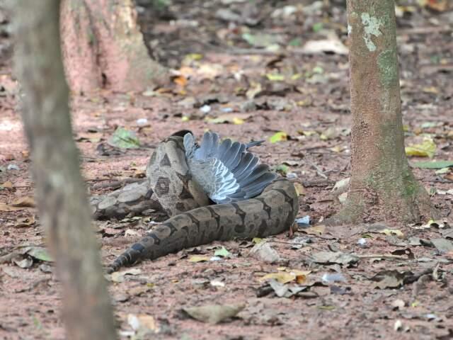 Cobra ajeita a presa...