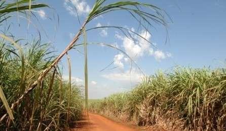 Embrapa orienta produtores a evitar cultivo da cana-de-açúcar no inverno