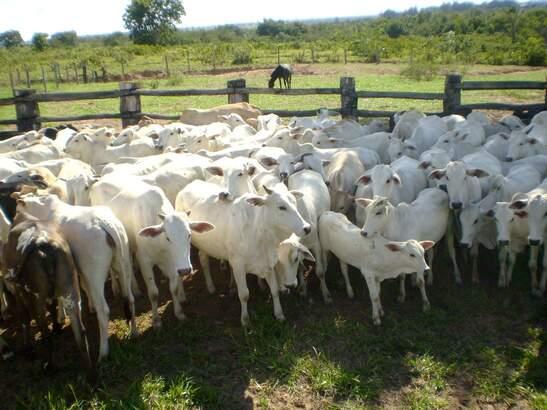 Duas pessoas forma indiciadas por furto de gado no município. (Foto: divulgação)