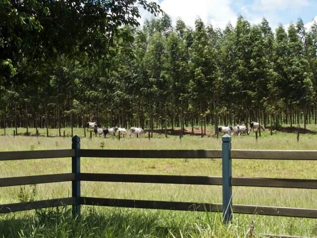 Com o sistema silvipastoril, a pastagem deixa de ser degradada, se tornando fértil e protegida por folhas. (Foto: Aurélio Vinicius).