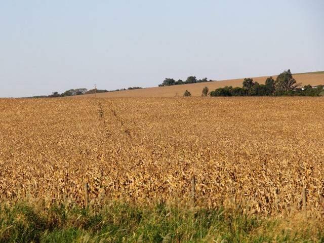 Safra de milho registrou quebra de 33,4% devido estiagem e geadas (Foto: Marcos Ermínio)