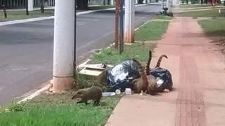O bando de quatis revirava o lixo deixado próximo à um condomínio da região.(Foto:Direto das Ruas)