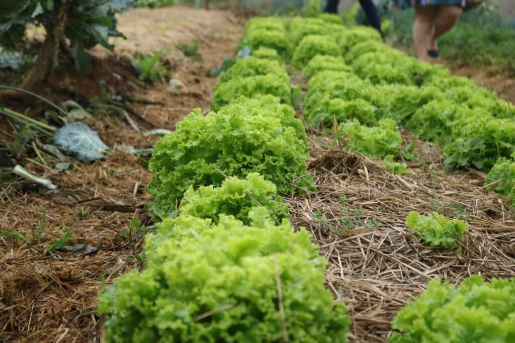 Hortifrúti produzido no local tem três destinos: a venda, o consumo próprio das famílias e o uso na merenda escolar (Foto: Marcos Maluf)