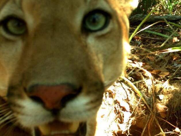 """Suçuarana faz uma bela """"selfie"""" ao se aproximar de armadilha fotográfica no Pantanal da Nhecolândia. """"Perto demais pros meus olhos verdes?"""" (Foto: Divulgação/Ipe)"""