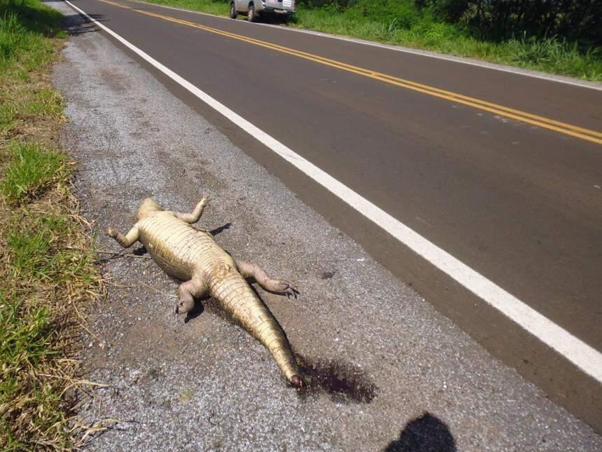 Jacaré é uma das espécies mais atropeladas na BR-262, segundo pesquisadores do ICAS. (Foto: Divulgação)
