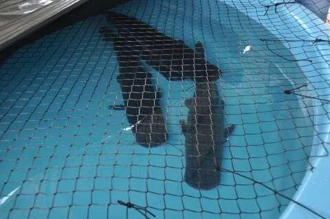 Especialistas de SP vão emitir parecer sobre peixes do Aquário do Pantanal