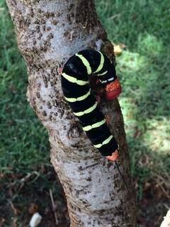 """A lagarta é a fase larval de uma mariposa da família Sphingidae, vulgarmente conhecida como """"bruxa"""".(Foto: Direto das Ruas)"""