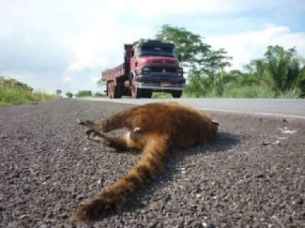 Em um ano, 1.400 animais silvestres foram atropelados na BR-262