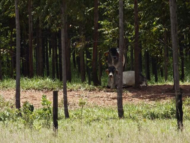 O recomendado é que antes da chegada do gado, as árvores estejam medindo 8 centímetros de diâmetro. (Foto: Aurélio Vinicius).