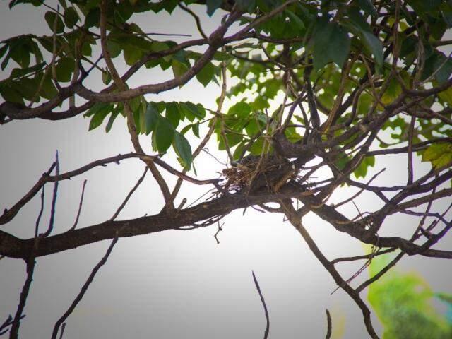 Ninho fica na árvore em frente da sala de apartamento. (Foto: Marcos Ermínio)