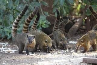 Quatis são animais silvestres vistos frequentemente em Campo Grande. (Foto:Cleber Gellio)