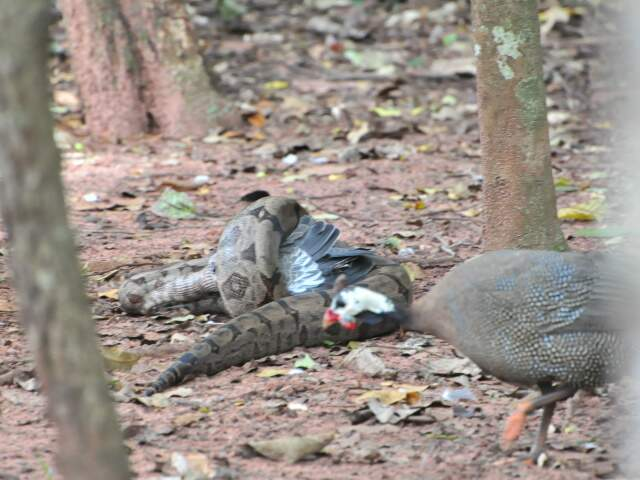 Enquanto isso, galinha da angola passa tranquilamente. (Fotos: João Garrigó)