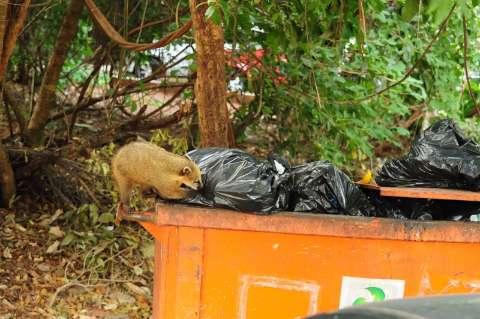 No Parque dos Poderes, revirar lixo vira hábito dos quatis