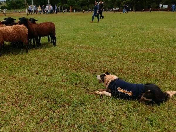 Cães podem pastorear rebanhos variados (Foto: Elci Holsback)
