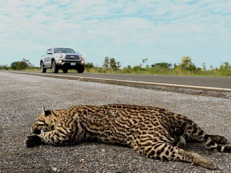 Jaguatirica morta em trecho próximo ao Rio Paraguai (Foto: Edemir Rodrigues)