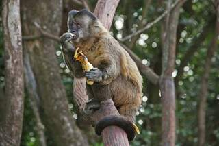 Macaco-prego comendo banana em uma área verde que fica no prolongamento da Vitor Meireles, na região do bairro Itamaracá. (Foto: Marcos Ermínio)