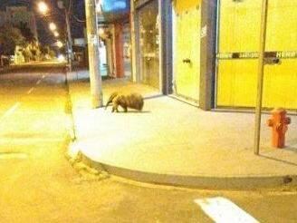 Animal foi fotografado à noite por funcionário de posto de combustível. (Foto: Jornal da Nova)