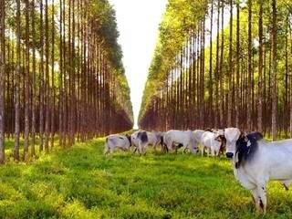 Sombra para o gado que divide o espaço com eucaliptos na Fazenda Boa Aguada em Ribas do Rio Pardo (Foto: Divulgação)