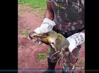 Bicho foi encontrado no canteiro central da avenida Afonso Pena. (Foto: Reprodução / Vídeo PMA)