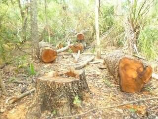 Fiscais encontraram vária árvores derrubadas prontas para beneficiamento (Foto:Divulgação)