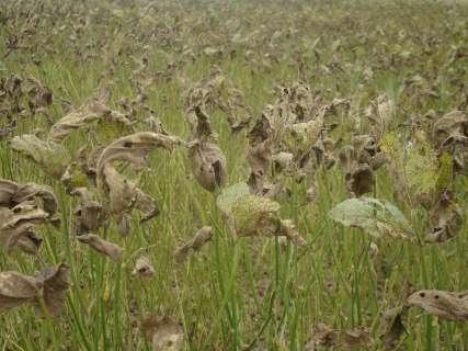 Casos de ferrugem asiática na safra de soja aumentam 68% em 18 dias