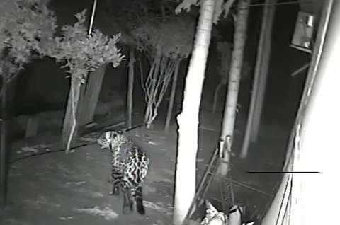 Câmeras flagram onça pintada atacando cachorro em quintal de casa