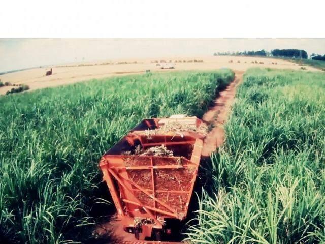 Área plantada de cana-de-açúcar deve crescer 3,1% em MS, segundo a Conab. (Foto: Biosul)