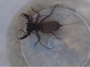 Em janeiro de 2016, escorpião diferente aparaceu em residência. (Foto: Arquivo)