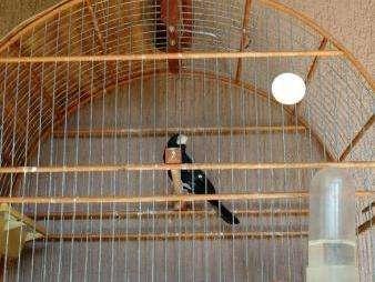 Dois criadores de pássaros são multados em R$ 3,5 mil pela PMA