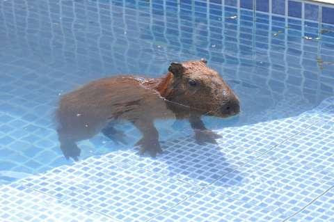 Capivara entra em casa, pula na piscina e vira atração de vizinhança