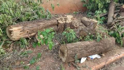 Moradores reclamam ao verem árvores 'centenárias' podadas