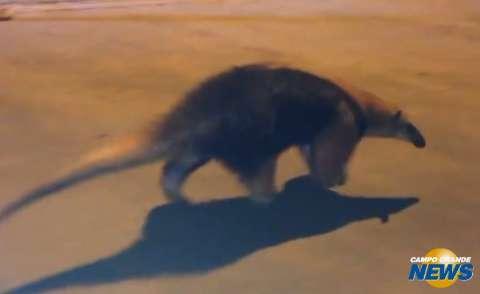 Tamanduá mirim é visto passeando por bairro e capturado pela PMA