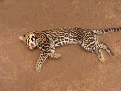 Jaguatirica atropelada e encontrada morta, será empalhada pela PMA