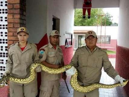 Sucuri de 4 metros é encontrada em hotel, enrolada a filhote de cachorro