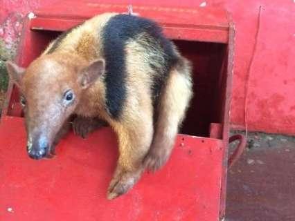 Filhote de tamanduá é encontrado escondido embaixo de caminhão